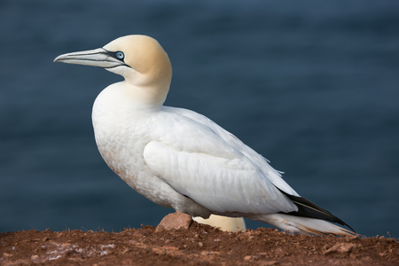 seabird: Northern Gannet  (Morus bassanus) at the Island Helgoland, Germany Stock Photo