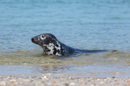 baby seal: Seal swimming in the sea near the beach of island Helgoland, Germany