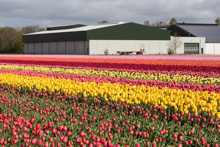 polychrome: Dutch farmland with barn and colorful tulip fields
