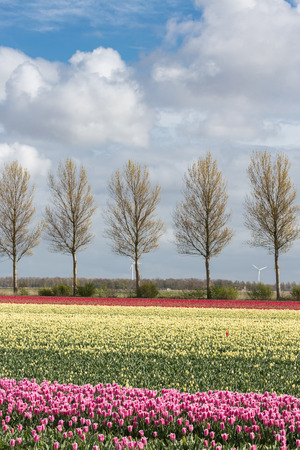 Dutch farmland with country road and colorful tulip fields