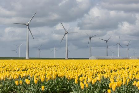 bulb fields: Dutch farmland with wind turbines and colorful yellow tulip field