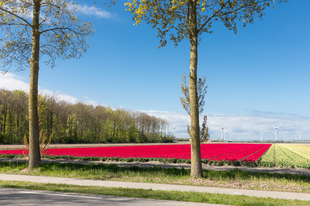 Dutch country road with colorful red tulip fields and wind turbines