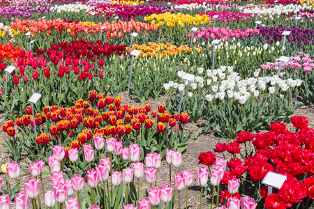 nameplate: Dutch show garden with several kind of tulips. Each different tulip has a nameplate description. Stock Photo