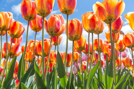 Bottom view of transparant orange and yellow tulips with blue sky background