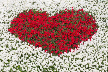 heartshaped: Field of white tulips with heart shape of red tulips