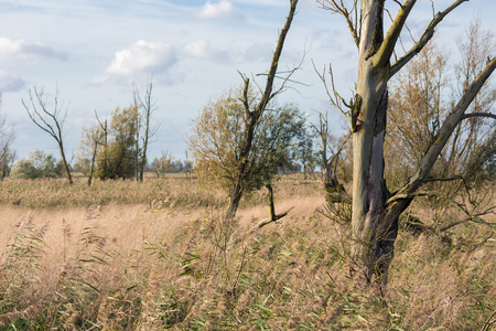 National Park Oostvaardersplassen with Canebrake and old trees in The Netherlands
