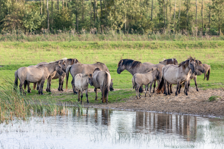 Dutch National Park Oostvaardersplassen with herd of Konik horses near a pool of water