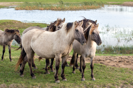 Dutch National Park Oostvaardersplassen with Konik horses near a pool of water Stock Photo