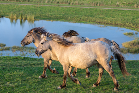 Dutch National Park Oostvaardersplassen with Konik horses passing a pool of water