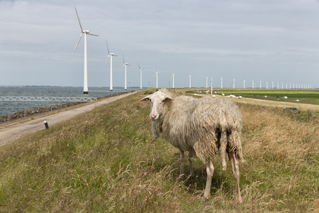 Sheep in Dutch field with off shore wind turbine farm at the background Stock Photo
