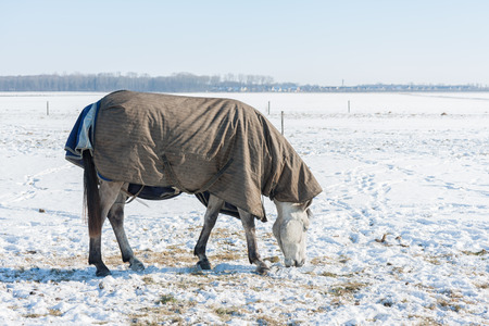 Dutch winter landscape with snowy field and horse covered with blanket searching for grass beneath the snow