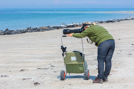 Helgoland, Germany - May 20, 2017: Woman taking pictures of seals at beach of Dune near German island Helgoland in North sea 報道画像