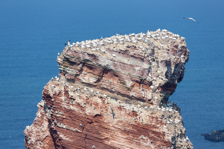Northern gannets in breeding colony at cliffs of Helgoland island, Germany Stock Photo