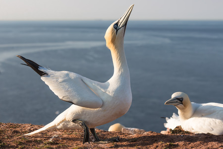 Northern gannet trying to impose a female bird in breeding colony at Helgoland island, Germany