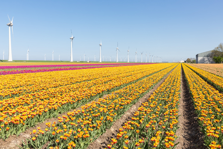 Dutch farmland with yellow and purple tulip fields and big wind turbines