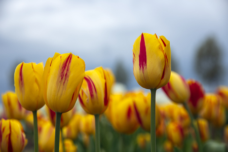 Frog perspectieve from red and white tulips facing a grey cloudy sky Stock Photo