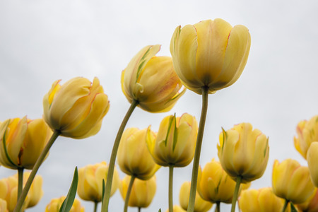 Frog perspectieve from yellow tulips facing a grey cloudy sky Stock Photo