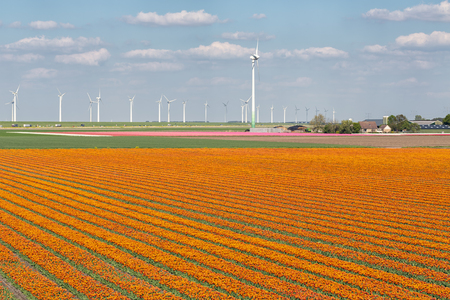 Dutch tulip field along highway A6 between Lelystad and Emmeloord