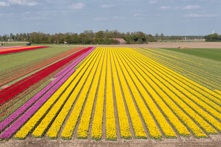 Aerial view colorful tulip field with electricity pylons in Noordoostpolder, the Netherlands