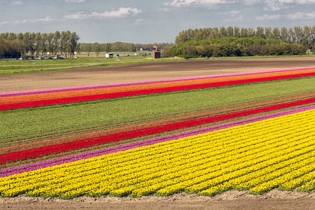 Aerial view Dutch tulip field along highway A6 between Lelystad and Emmeloord
