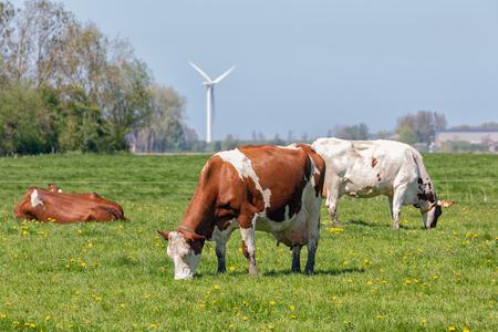 Dutch rural landscape near Groningen with grazing cows