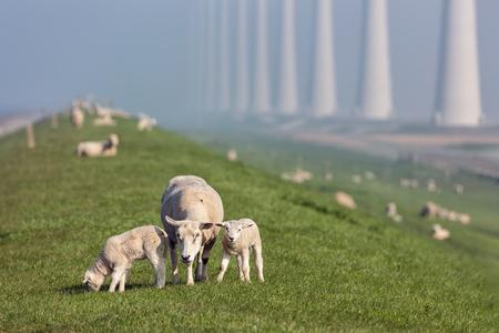 Sheep with lambs at dike near wind turbine farm in Flevoland, The Netherlands Stockfoto