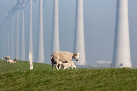 Sheep with lamb at dike near wind turbine farm in Flevoland, The Netherlands Stockfoto