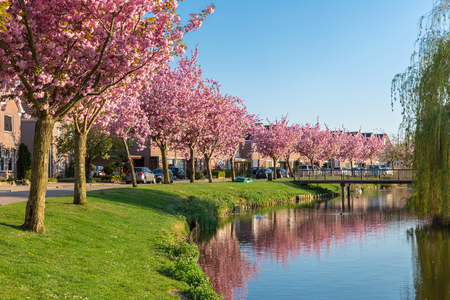 Dutch residential area village Urk with pond and blooming pink prunus