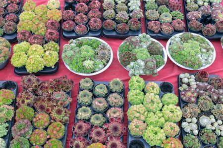 Background of red carpet with display for sale of colorful small succulents