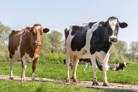 Printemps avec deux vaches noires et brunes qui paissent dans les pâturages hollandais