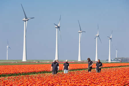 Espel, The Netherlands- April 19, 2019: Agricultural workers reviewing orange tulip field with wind turbines in the Netherlands Redakční