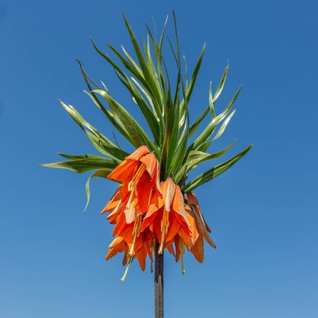 Lordly Crown Imperial or Fritillaria imperialis against a blue sky
