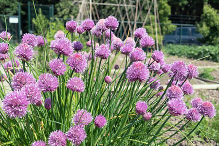 Dutch allotment garden with purple flowering chive plants and bean stakes