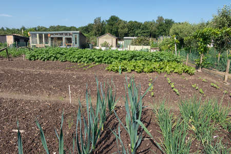 Dutch allotment garden with growing leek, onions, potatoes and shed