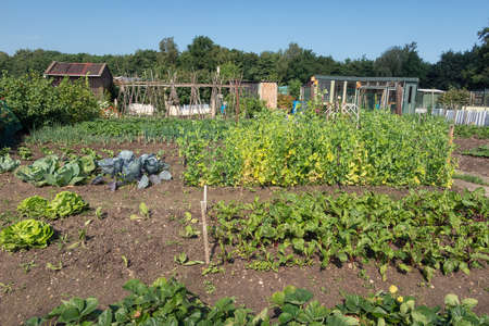 Dutch allotment garden with growing coal, endive, potatoes and shed