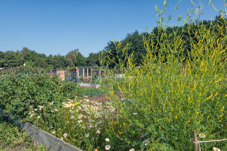 Dutch allotment garden with yellow meliot plant - sweet clover - and vegatables