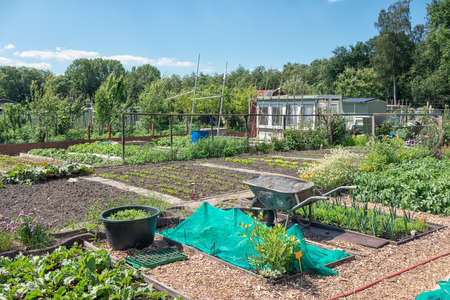Dutch allotment garden with growing vegetables, barrel, wheelbarrow and shed