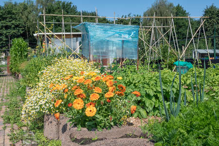 Dutch allotment garden with marigold and daisy flower bed and tomato plants covered with plastic foil