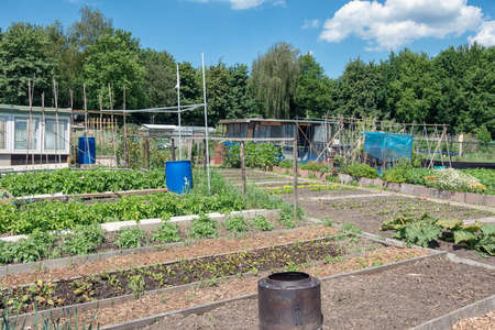 Dutch allotment garden with growing vegetables, barrel and shed