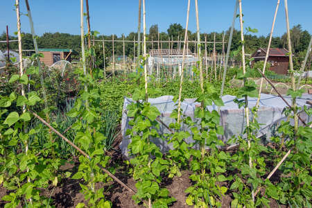 Dutch allotment garden with growing vegetables, bean stakes and shed 免版税图像