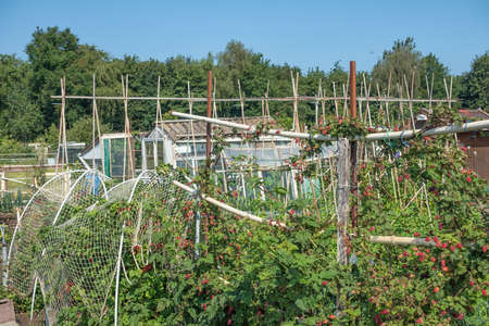 Dutch allotment garden with growing raspberries, bean stakes and shed