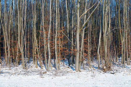 Dutch winter with wood of birch trees in snow covered landscape