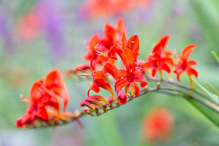 Red flowers Montbretia Lucifer with shallow depth background