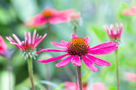 Purple Echinacea flower with blurred shallow depth background