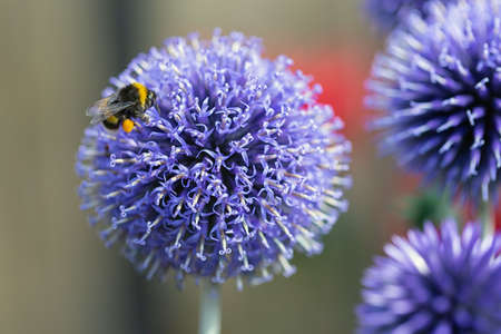 Close-up Blue Echinops Ritro flower with honeybee at shallow depth background