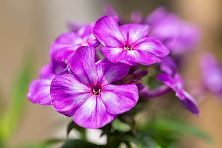 Purple Phlox flower with blurred shallow depth background