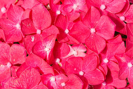 Red colorful background of beautiful Hortensia flowers