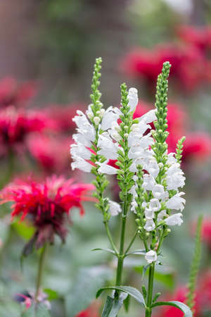White Physostegia flowers with blurred Red Monada flowers at the background