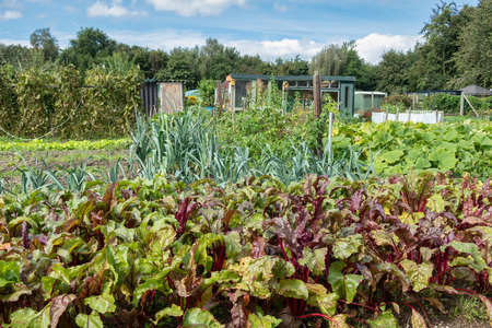 Dutch allotment garden in autumn with beetroof and leek
