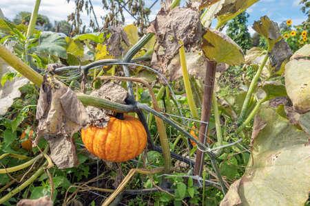 Dutch allotment garden in autumn with pumpkin between wilted leaves